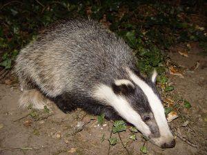 800px-Badger-badger