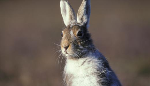 banner-mountain-hare